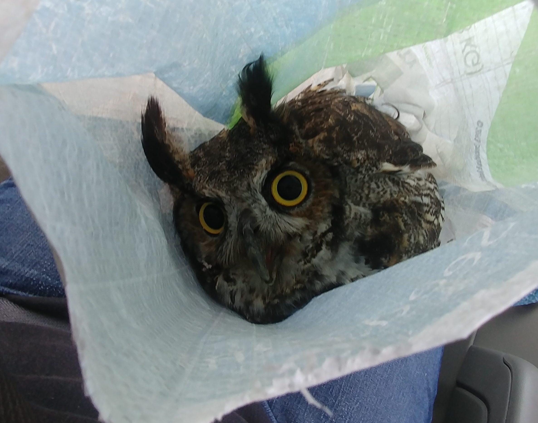 Owl Rescue Meg Gerndt
