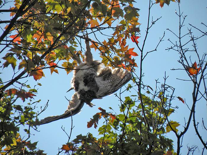 Owl caught in tree